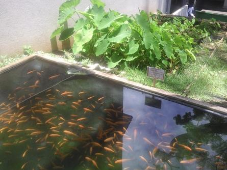 Raising fish for food backyard fish farming for survival for Hydroponics in koi pond