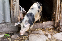 Heritage pigs as homesteading livestock.