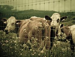 Raising cattle on small acreage