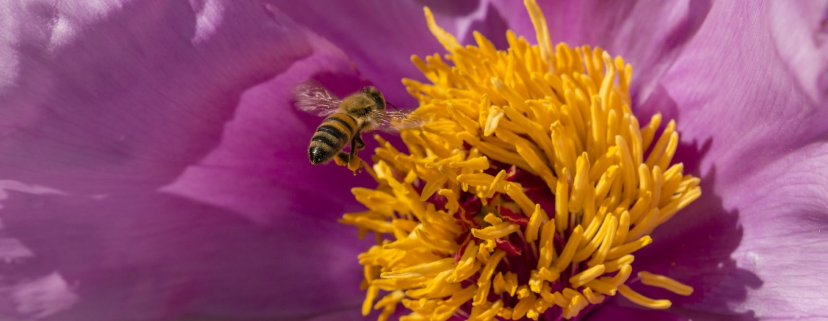 Honey bee on paeony flower