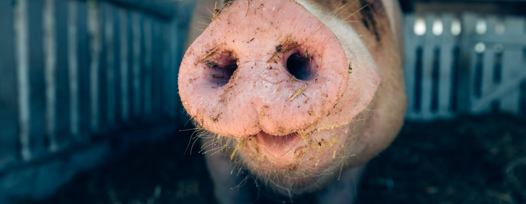 Pig nose in pigsty, close up