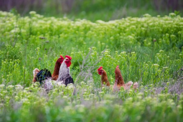 Rooster and hickens walking in green field