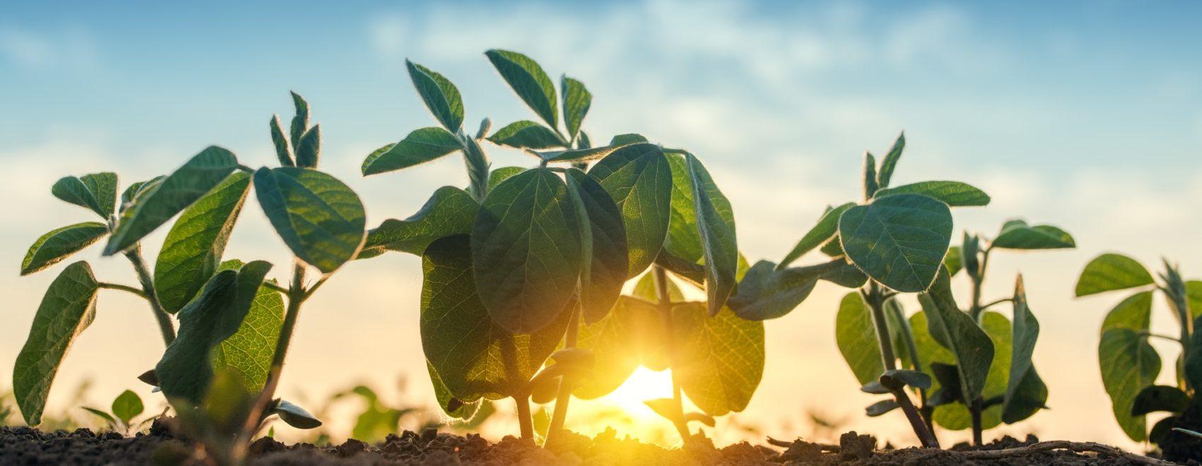 Sunrise in soybean field